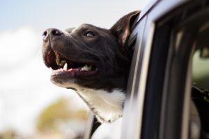 Przewożenie psa w samochodzie
